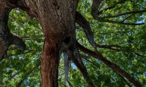Oak tree seen from below